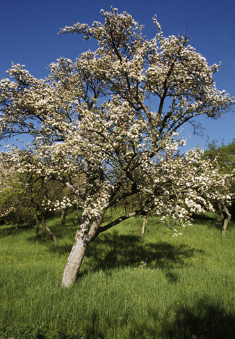Obstbaum in Blüte